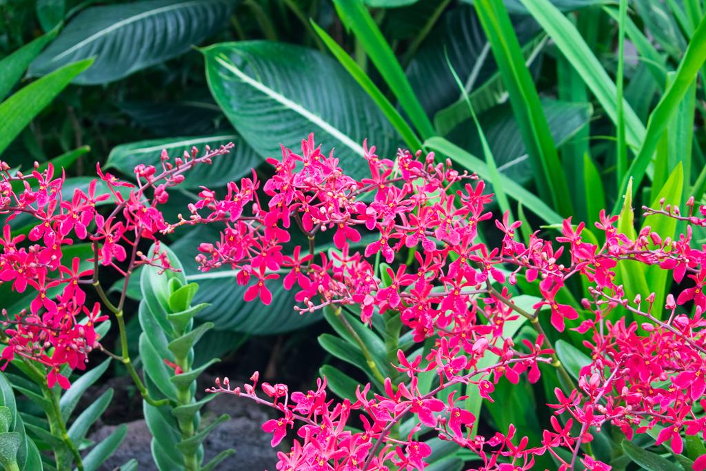 singapore botanic gardens flowers