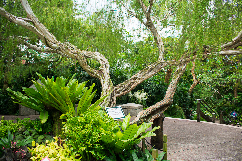 singapore botanic gardens trees