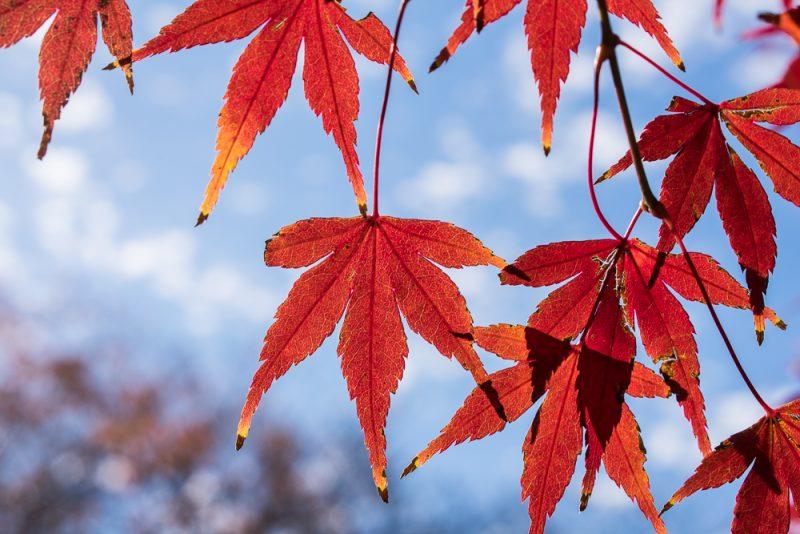 shinjuku gyoen maple leaf