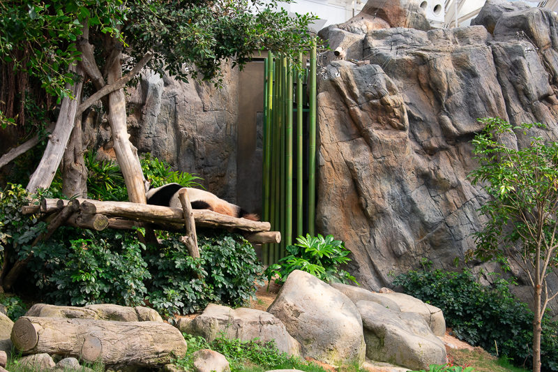giant panda attraction ocean park