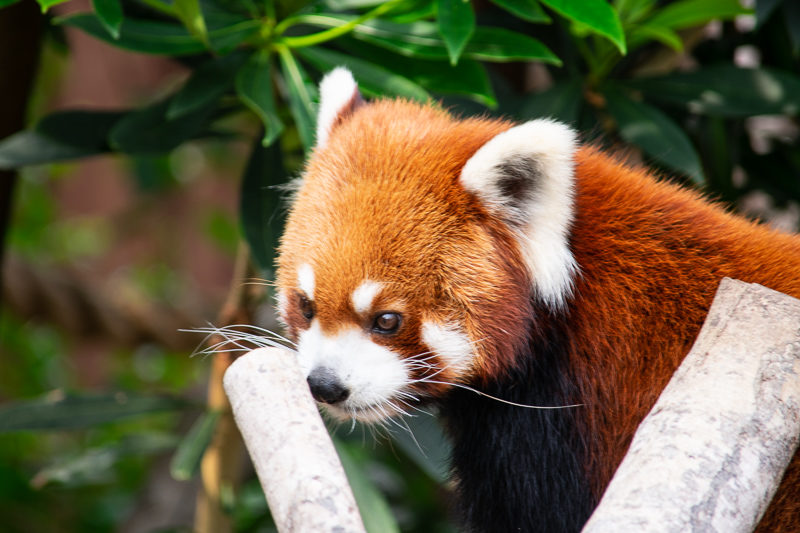 red panda in hong kong